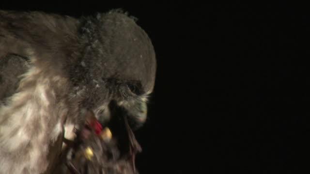Shot of brown hawk-owl feeding on bat at Namhan River (tourist attraction)