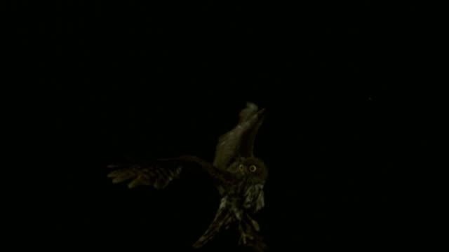 shot of brown hawk-owl flying at namhan river (tourist attraction) - 動物の翼点の映像素材/bロール