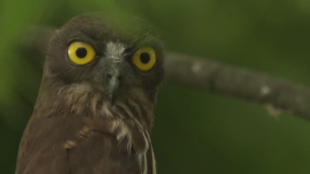 Shot of brown hawk-owl turning its head and staring at Namhan River (tourist attraction)