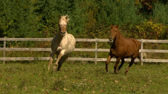 vídeos de stock, filmes e b-roll de ms slo mo zo shot of brown horse and off white horse galloping along side each other / shady, new york, united states - animal de trabalho
