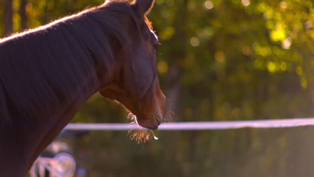CU SLO MO Shot of brown horse chewing hay / shady, New York, United States