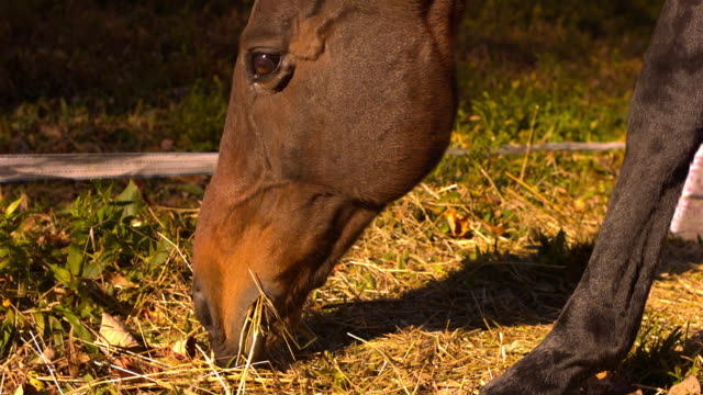 ecu slo mo shot of brown horse eating hay / shady, new york, united states - animale da lavoro video stock e b–roll