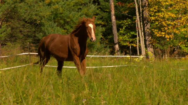 ms ts slo mo shot of brown horse with white stripe on nose galloping through lit field and then stopping to eat grass / shady, new york, united states - braun stock-videos und b-roll-filmmaterial