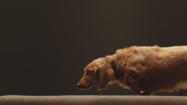 MS SLO MO Shot of brown long haired dashund dog walking / Shepperton, Middlesex, United Kingdom