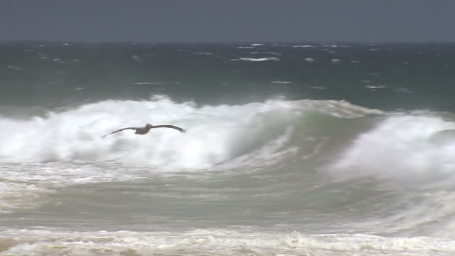 MS TS Shot of Brown pelican flying low over shore and waves / Cabo San Lucas, Baja California Sur, Mexico