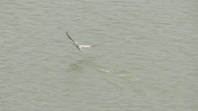 ms aerial zi ts shot of brown pelican in flight low over gulf of mexico water / louisiana, united states - gulf coast states stock videos & royalty-free footage