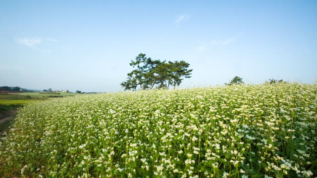 Shot of Buckwheat Flower field at Hagwonnongjang Farm in Gochang
