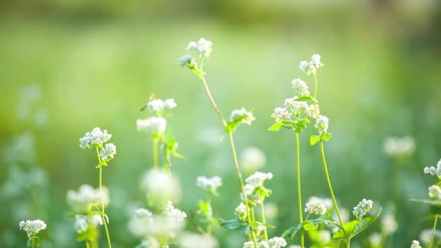 ecu shot of buckwheat flower swaying in breeze / gochang, jeollabuk do, south korea - buckwheat stock videos & royalty-free footage