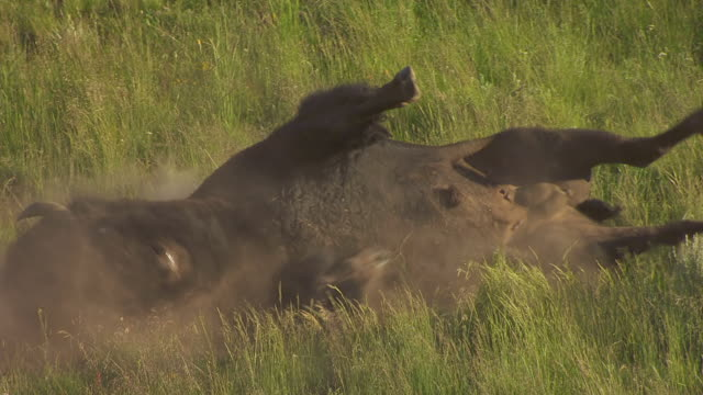 vídeos y material grabado en eventos de stock de cu aerial ts shot of buffalo rolling and kicking up dirt in hayday valley in yellowstone national park  / wyoming, united states - bisonte americano