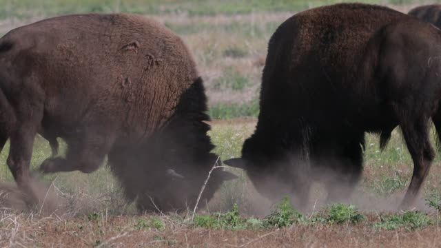 MS/TS 4K shot of bull bison (Bison bison) fighting during the rut