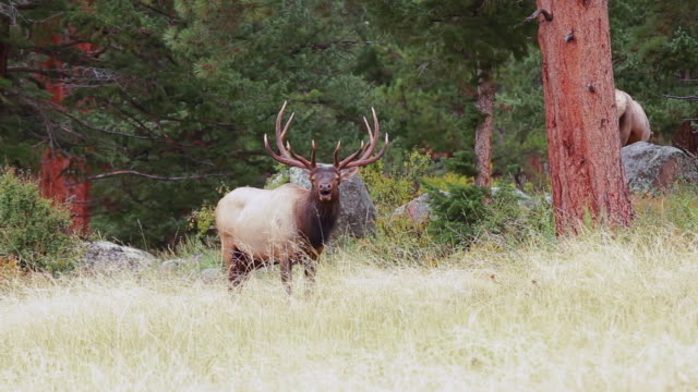 MS Shot of bull elk bugling in meadow AUDIO / Tetons, Wyoming, United States