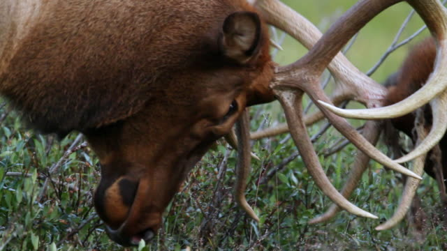 cu ts shot of bull elk (cervus canadensis) fighting with velvet hanging from their antlers / grand lake, colorado, united states - wapiti stock videos & royalty-free footage