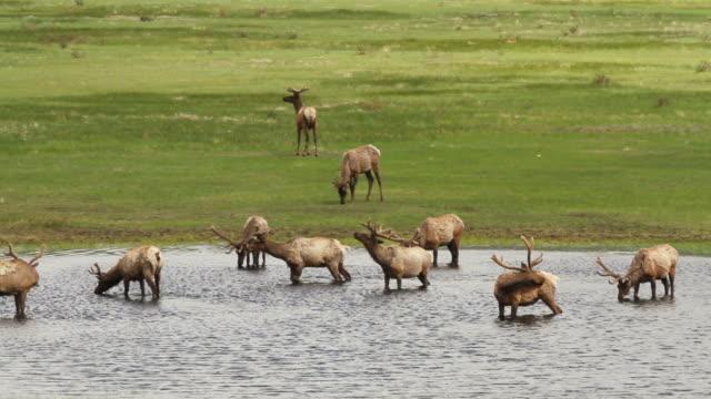 stockvideo's en b-roll-footage met ms shot of bull elk herding pond at sunrise / estes park, colorado, united states - estes park