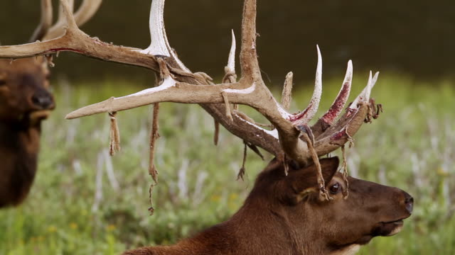 cu shot of bull elk (cervus canadensis) loses his velvet as it blows in wind / grand lake, colorado, united states - antler stock videos & royalty-free footage