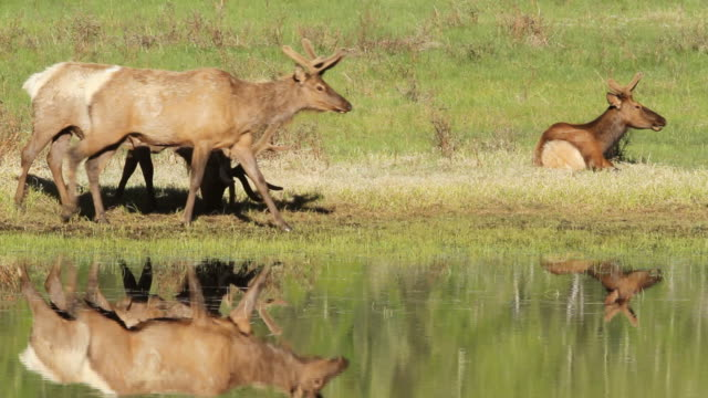 stockvideo's en b-roll-footage met ms shot of bull elk reflected in pond at sunrise / estes park, colorado, united states - estes park