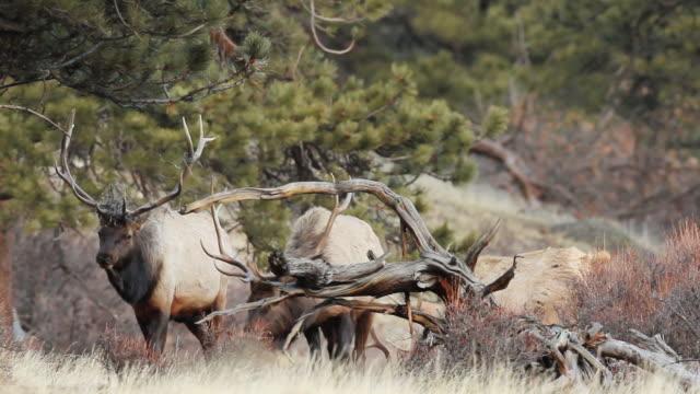 stockvideo's en b-roll-footage met ms shot of bull elk walking and grazing at dusk / estes park, colorado, united states - estes park