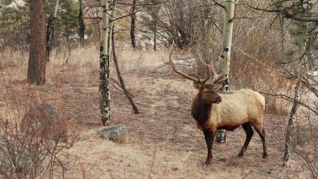 stockvideo's en b-roll-footage met ms pan shot of bull elk walking through forest / estes park, colorado, united states - estes park