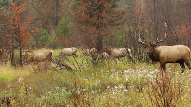 ms shot of bull elk with harem in meadow during downpour / tetons, wyoming, united states - grazing stock videos & royalty-free footage