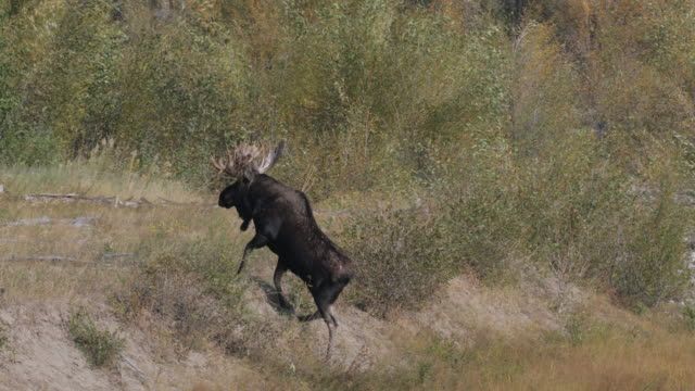 ws 4k shot of bull moose and cow (alces alces) crossing the snake river as the fall rut begins - grand teton national park stock videos & royalty-free footage