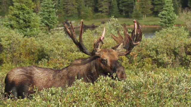 vídeos y material grabado en eventos de stock de ms shot of bull moose eating and walking through fall colored willows with bloody antlers at sunrise / ward, colorado, united states - árbol de hoja caduca
