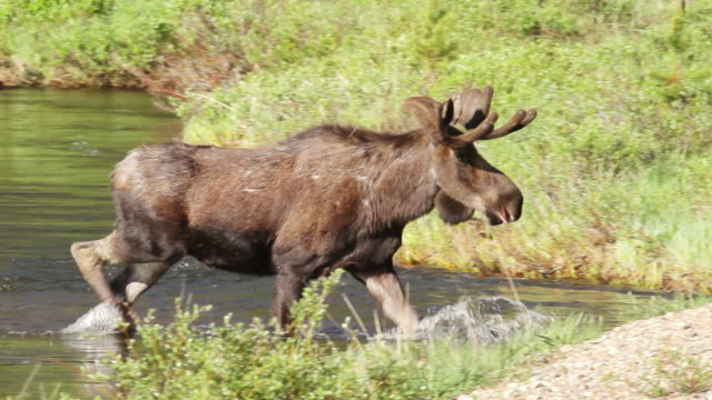 vidéos et rushes de ms shot of bull moose exits river and walking through meadow / grand lake, colorado, united states - caribou