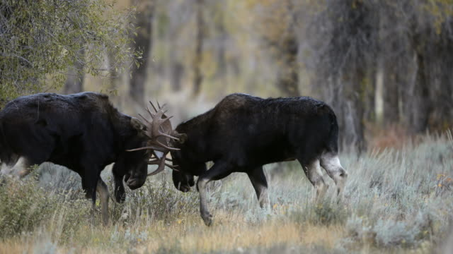 vidéos et rushes de ms 4k shot of bull moose (alces alces) fighting during the rut - caribou