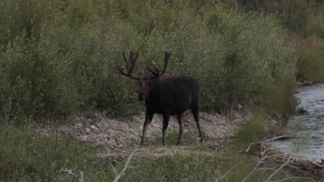 ws 4k shot of bull moose (alces alces) grazing along the river at dusk - parte del corpo animale video stock e b–roll
