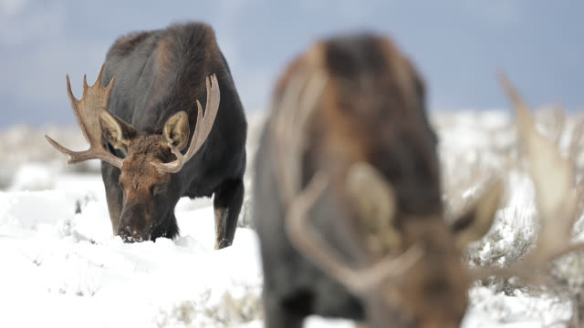 ts 4k shot of  bull moose in the snow (alces alces) approaching the camera - rocky mountains north america stock videos & royalty-free footage