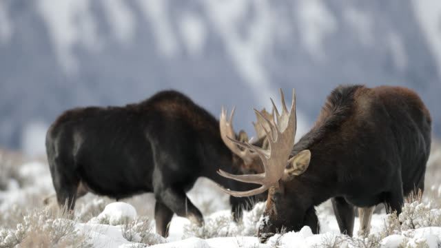 ts 4k shot of  bull moose in the snow (alces alces) approaching the camera - セージブラッシュ点の映像素材/bロール
