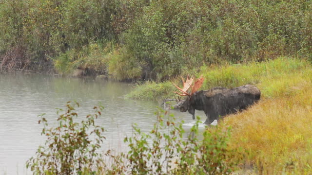 ms ts shot of bull moose shedding velvet and crossing snake river in early fall snow / tetons, wyoming, united states - スネーク川点の映像素材/bロール