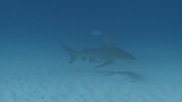 MS TS Shot of Bull shark over sand / Playa del Carmen, Isla Mujeres, Mexico