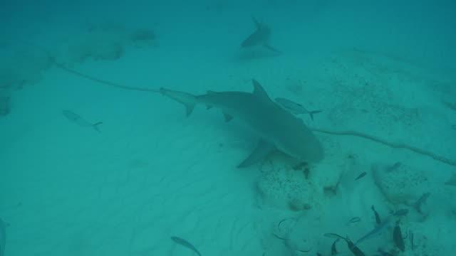 MS TS Shot of Bull shark / Playa del Carmen, Isla Mujeres, Mexico