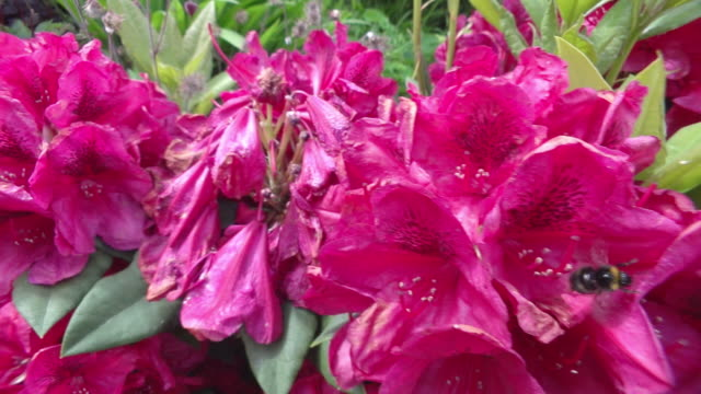 cu pan slo mo shot of bumblebee flying around rhododendron flowers / newcastle emlyn, ceredigion, united kingdom - rhododendron stock videos and b-roll footage