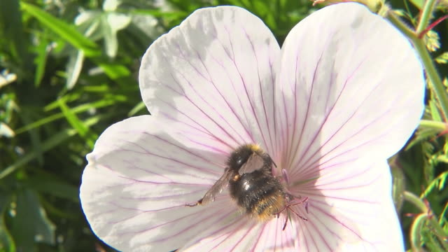 ecu ts slo mo shot of bumblebee nectar feeding on geranium kashmir white flowers / newcastle emlyn, ceredigion, united kingdom - pollination stock videos & royalty-free footage