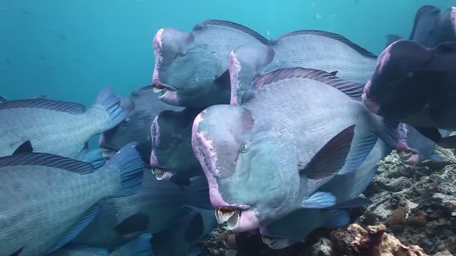 cu shot of bumphead parrotfish / sipadan, semporna, tawau, malaysia - parrotfish stock videos & royalty-free footage