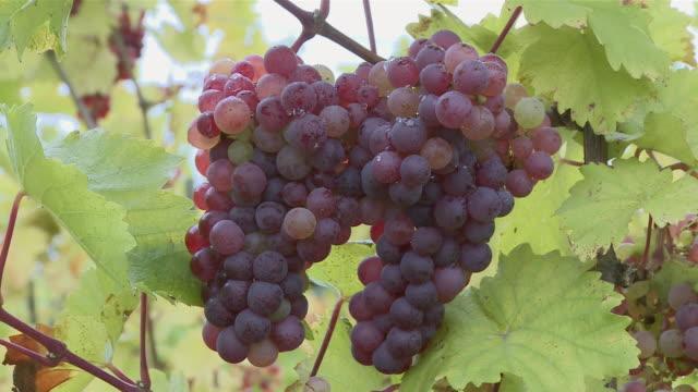 ms shot of bunch of grapes / nittel, rhineland-palatinate,  germany - ブドウ点の映像素材/bロール