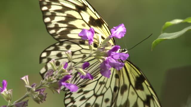 vídeos y material grabado en eventos de stock de cu shot of butterfly sitting on flower, butterfly / cape winelands, western cape, south africa - cabo winelands
