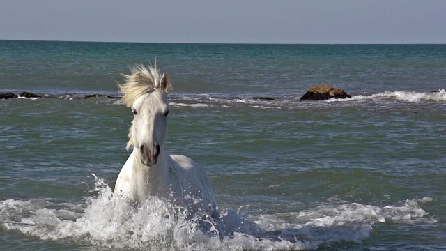 ms zo pov ts slo mo shot of camargue horse galloping in sea / saintes maries de la mer, camargue, france - galopp gangart von tieren stock-videos und b-roll-filmmaterial