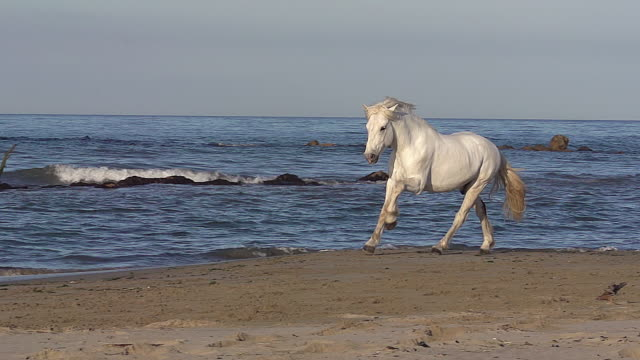 ms ts slo mo shot of camargue horse galloping on beach / saintes marie de la mer, camargue, france - trot animal gait stock videos & royalty-free footage