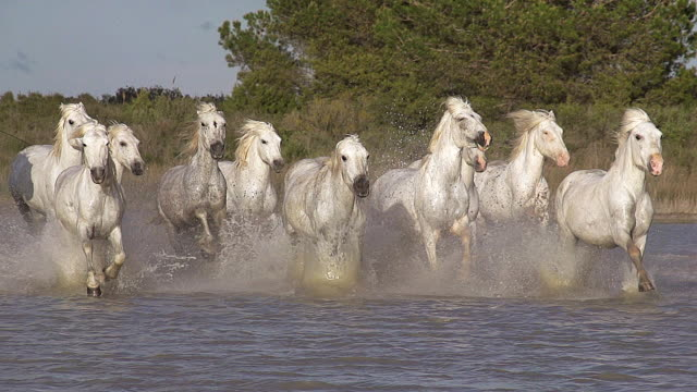 ms ts slo mo shot of camargue horse herd galloping running through swamp / saintes maries de la mer, camargue, france - galopp gangart von tieren stock-videos und b-roll-filmmaterial