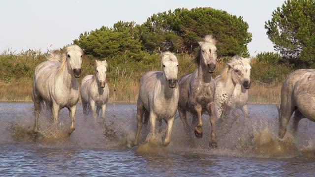 MS TS SLO MO Shot of Camargue Horse Herd galloping running through Swamp / Saintes Maries de la Mer, Camargue, France