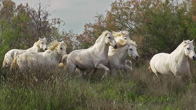 ms ts slo mo shot of camargue horse, herd galloping, saintes marie de la mer in camargue, in south of france / saintes maries de la mer, camargue, france - camargue stock-videos und b-roll-filmmaterial