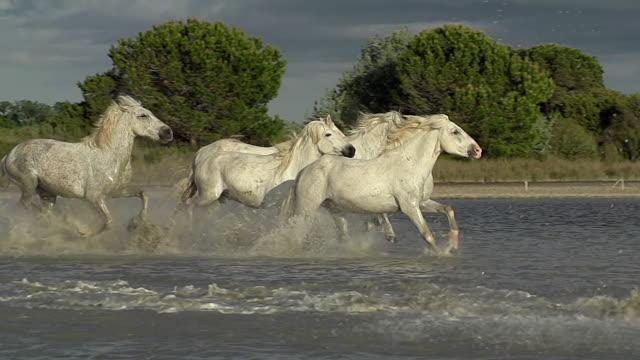 vídeos y material grabado en eventos de stock de ms ts slo mo shot of camargue horse, herd galloping through swamp, saintes marie de la mer in camargue, in south of france / saintes maries de la mer, camargue, france - manada