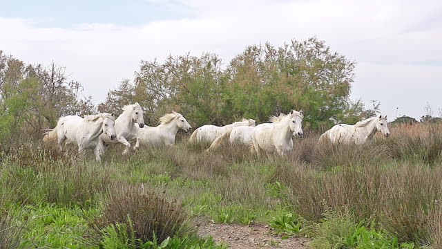 vídeos y material grabado en eventos de stock de ms ts zo slo mo shot of camargue horse, herd galloping through swamp / saintes marie de la mer, camargue, france - grupo de animales