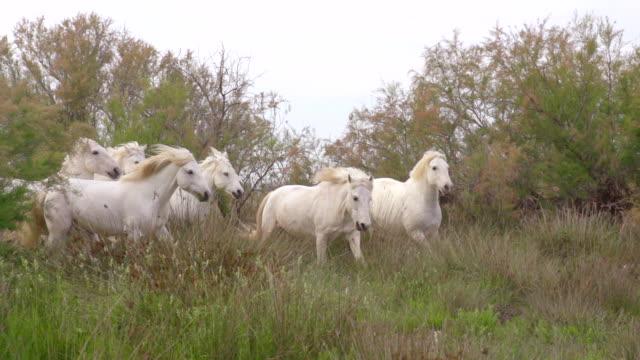 MS TS SLO MO Shot of Camargue Horse Herd galloping through Swamp / Saintes Maries de la Mer, Camargue, France