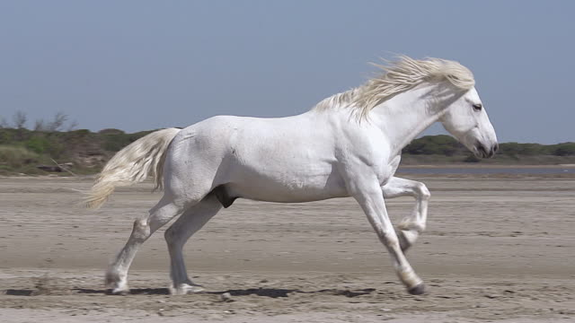 MS TS SLO MO Shot of Camargue Horse Stallion Galloping on Beach / Saintes Maries de la Mer, Camargue, France