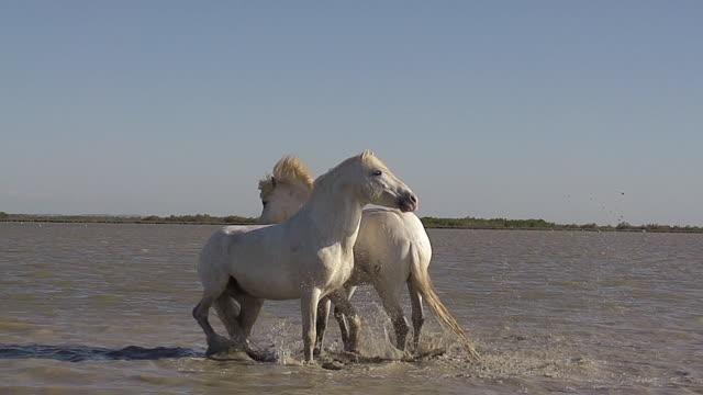 MS SLO MO Shot of Camargue Horse stallions fighting on Beach / Saintes Maries de la Mer, Camargue, France