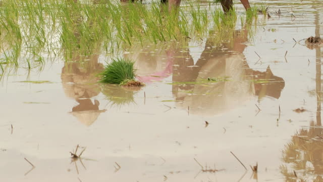 stockvideo's en b-roll-footage met ms tu shot of cambodian farmers planting crops in flooded rice paddies in puok area their reflection in water / siem reap, siem reap province, cambodia - bukken
