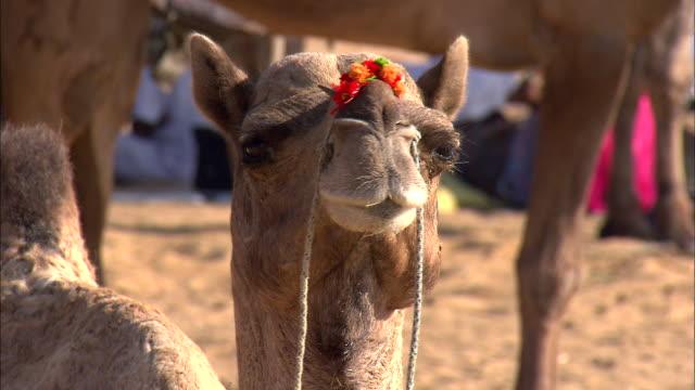 Shot of Camel at Pushkar Camel Fair
