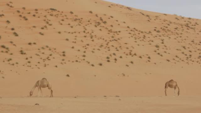 vídeos de stock, filmes e b-roll de ms shot of camel in wahabi sands at oman / countryside, ireland - animal de trabalho
